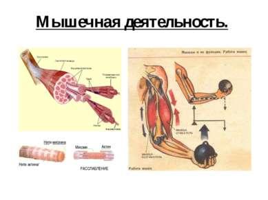 Мышечная деятельность. Нити миозина Нити актина/ Миозин Актин РАССЛАБЛЕНИЕ