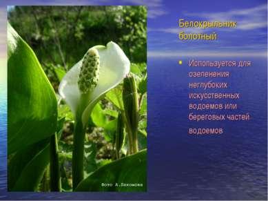 Белокрыльник болотный Используется для озеленения неглубоких искусственных во...