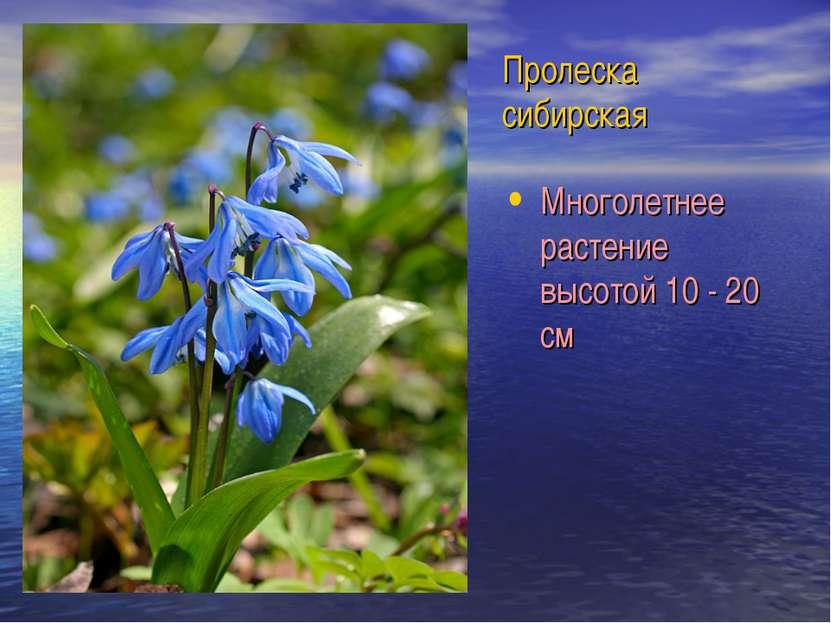 Пролеска сибирская Многолетнее растение высотой 10 - 20 см