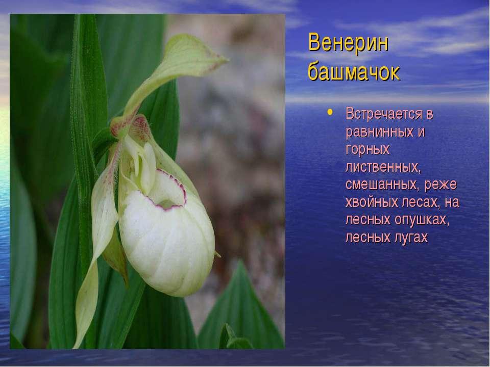 Венерин башмачок Встречается в равнинных и горных лиственных, смешанных, реже...