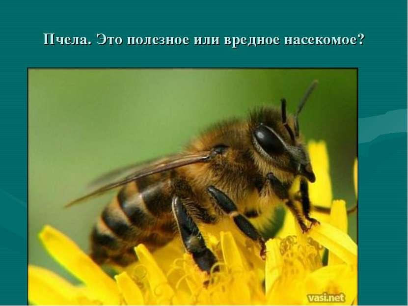 Пчела. Это полезное или вредное насекомое?