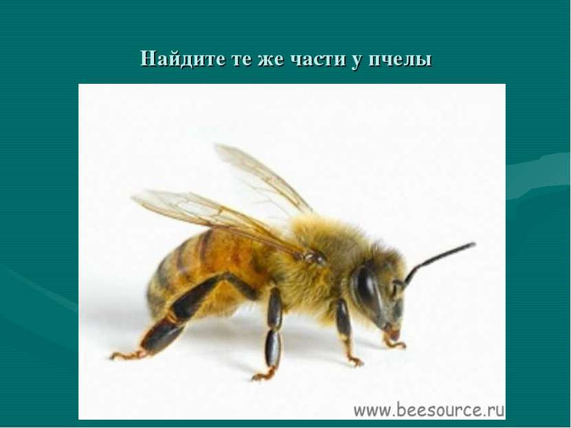 Найдите те же части у пчелы