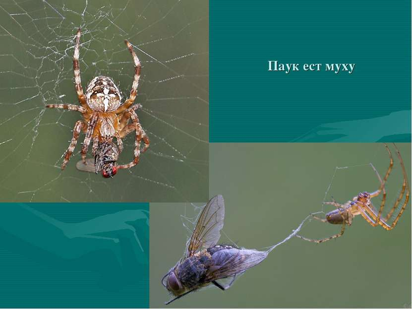 Паук ест муху