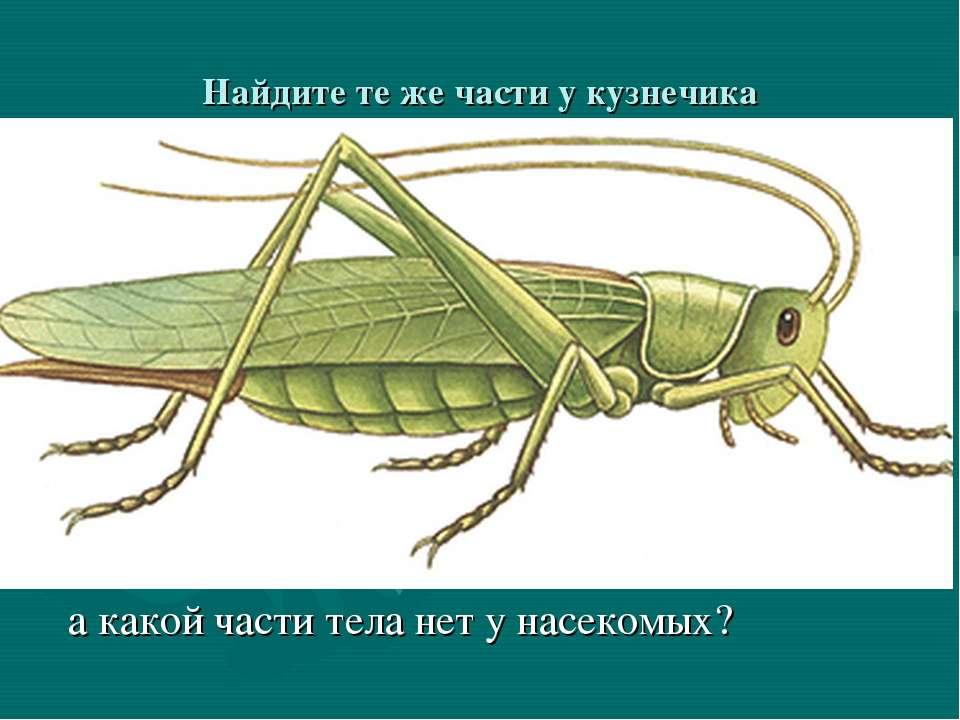 Найдите те же части у кузнечика а какой части тела нет у насекомых?