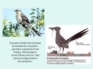 Большая пятнистая кукушка Большинство кукушек - крупные длиннохвостые птицы, ...