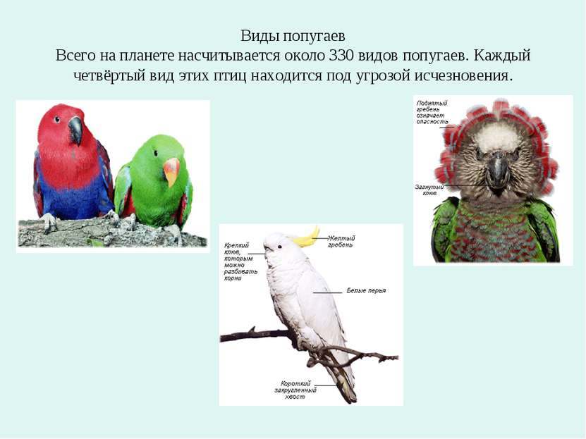 Виды попугаев Всего на планете насчитывается около 330 видов попугаев. Каждый...
