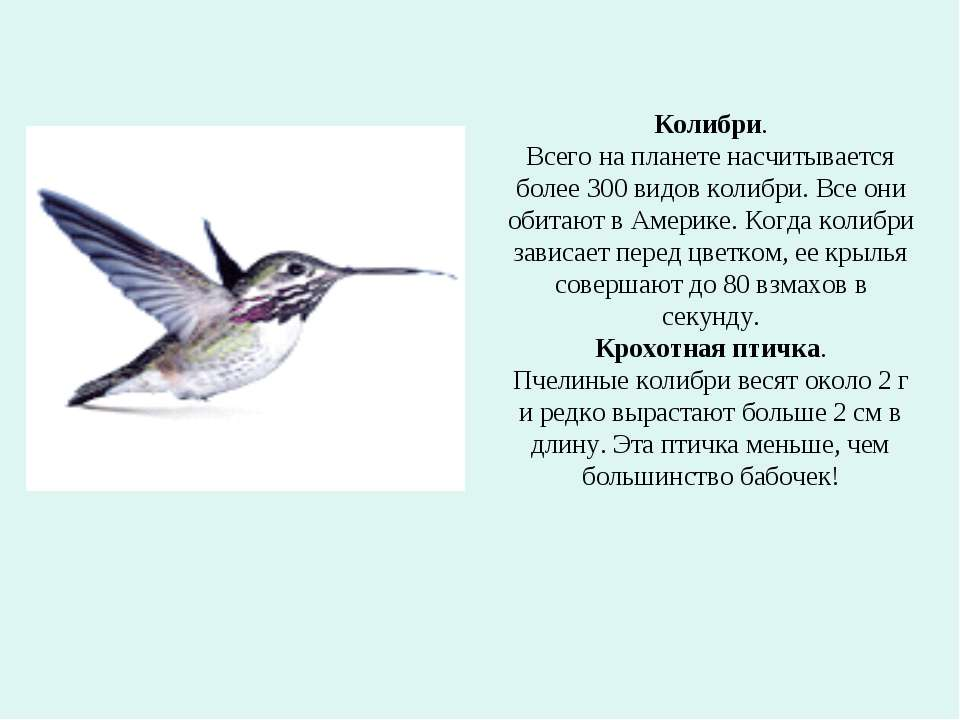 Колибри. Всего на планете насчитывается более 300 видов колибри. Все они обит...