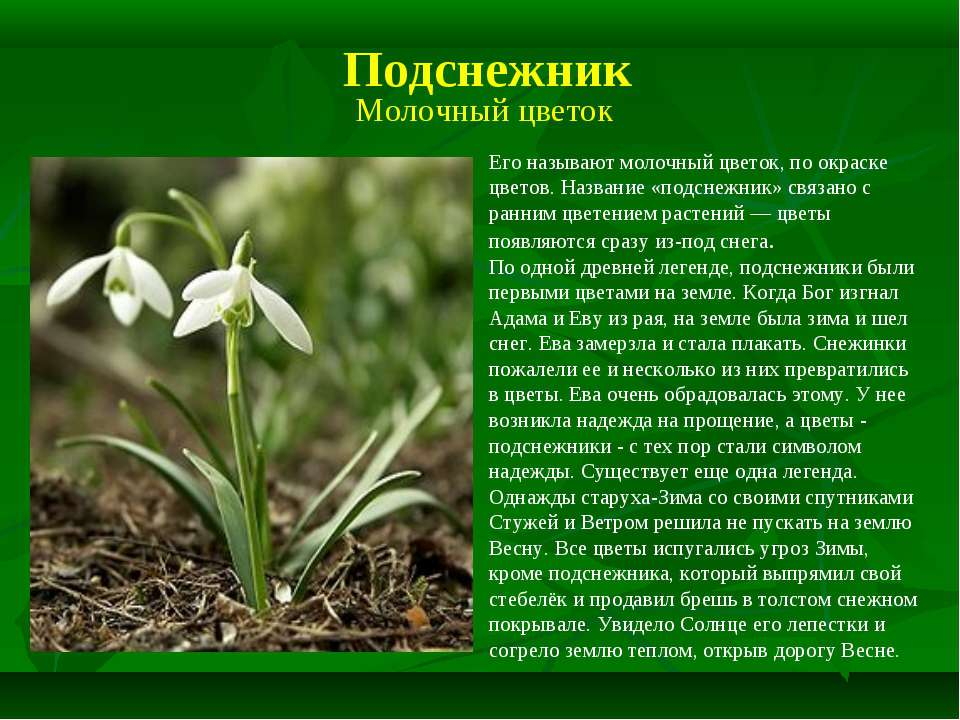 Подснежник Его называют молочный цветок, по окраске цветов. Название «подснеж...
