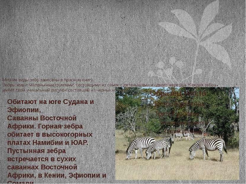 Многие виды зебр занесены в Красную книгу. Зебры живут маленькими группами, с...