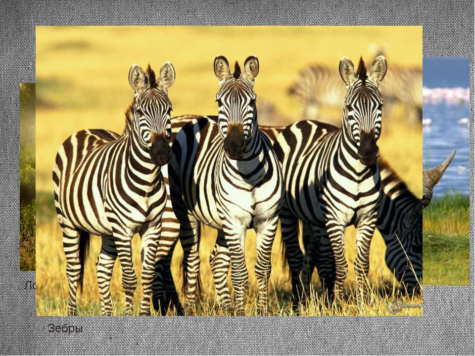 Тапир Лошадь Носорог Зебры