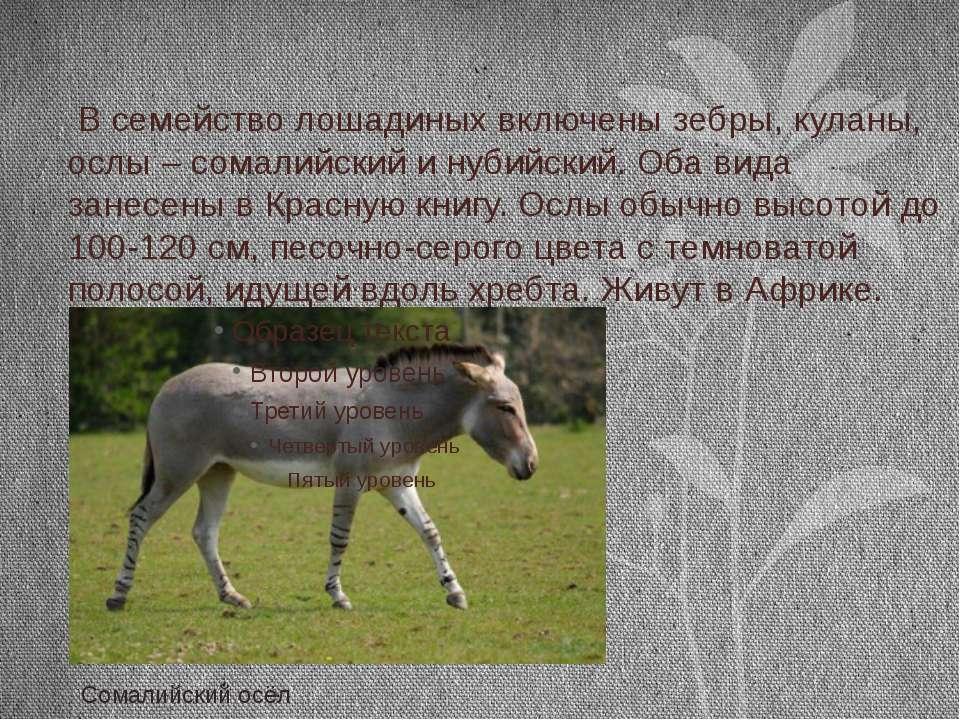 В семейство лошадиных включены зебры, куланы, ослы – сомалийский и нубийский....