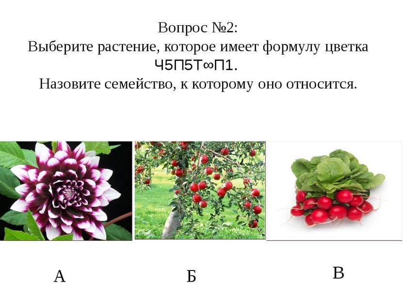 А Б В Вопрос №2: Выберите растение, которое имеет формулу цветка Ч5П5Т∞П1. На...