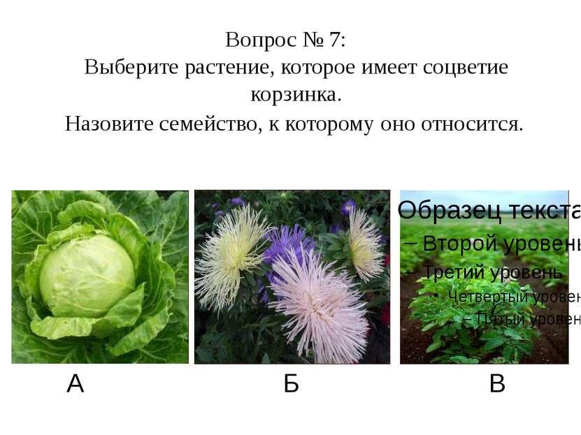 А Б В Вопрос № 7: Выберите растение, которое имеет соцветие корзинка. Назовит...