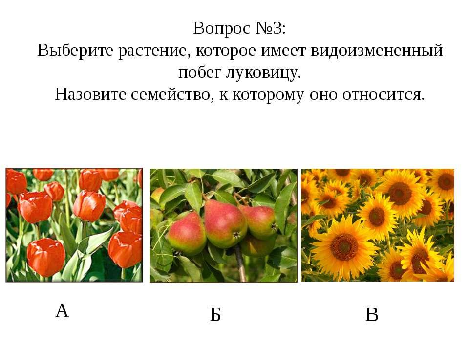 А Б В Вопрос №3: Выберите растение, которое имеет видоизмененный побег лукови...