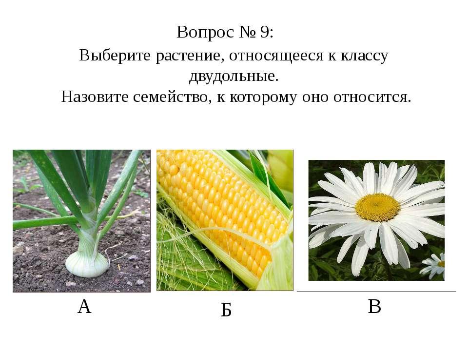 Выберите растение, относящееся к классу двудольные. Назовите семейство, к кот...