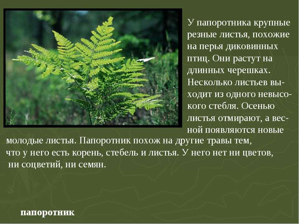 папоротник У папоротника крупные резные листья, похожие на перья диковинных п...