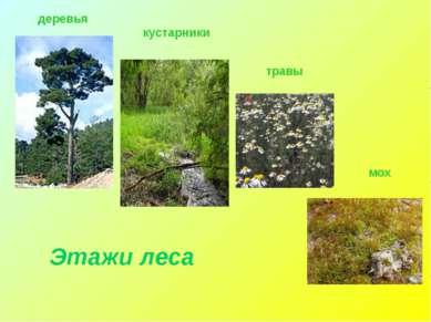 деревья травы кустарники мох Этажи леса