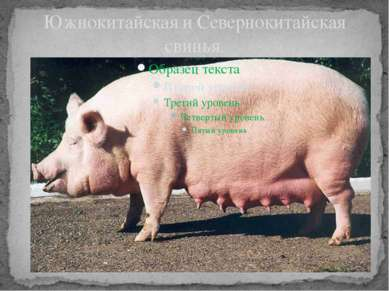 Южнокитайская и Севернокитайская свинья.