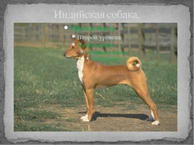 Индийская собака.