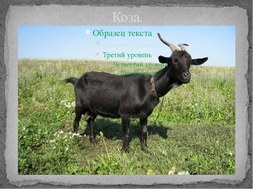 Коза.