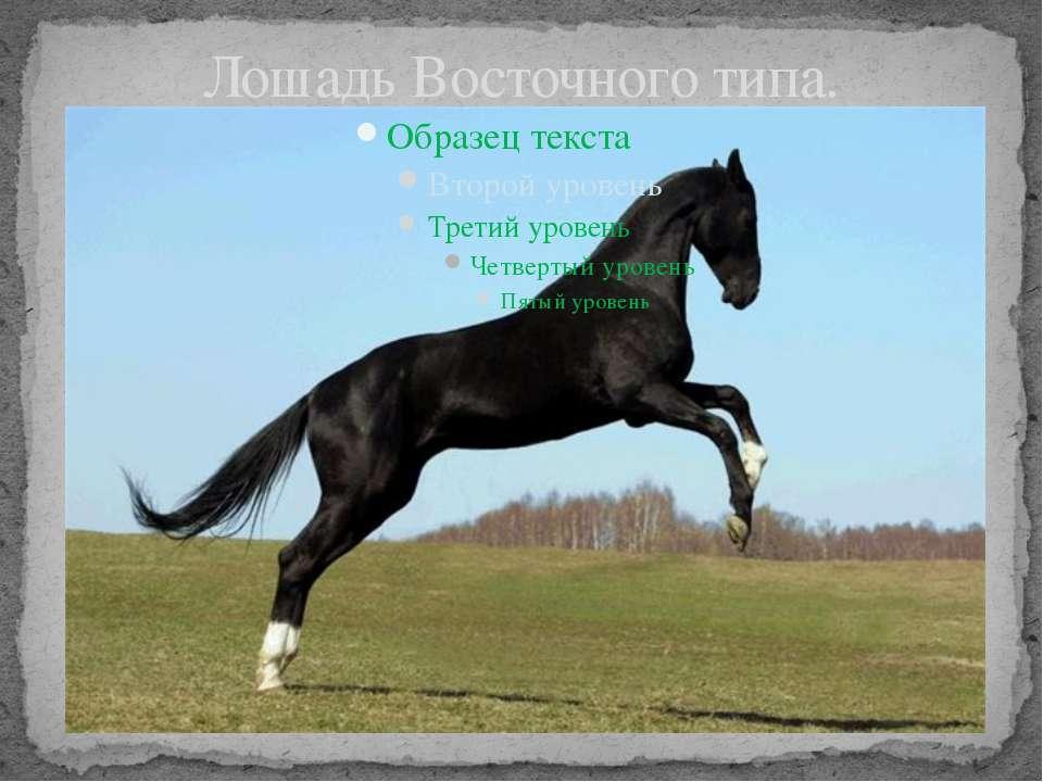 Лошадь Восточного типа.