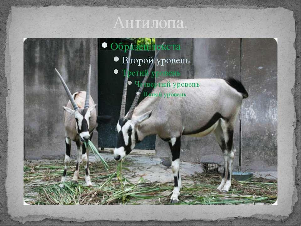 Антилопа.