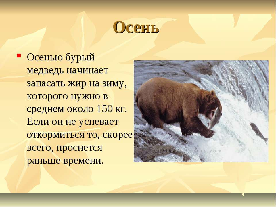 Осень Осенью бурый медведь начинает запасать жир на зиму, которого нужно в ср...