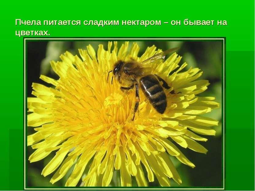 Пчела питается сладким нектаром – он бывает на цветках.