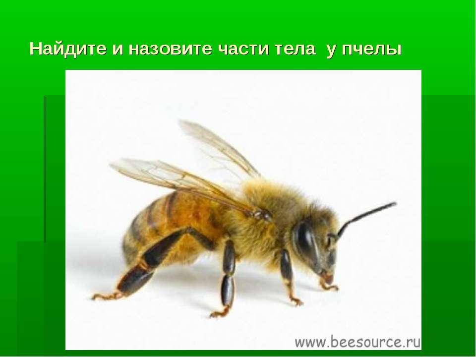 Найдите и назовите части тела у пчелы