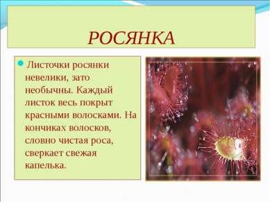 РОСЯНКА Листочки росянки невелики, зато необычны. Каждый листок весь покрыт к...