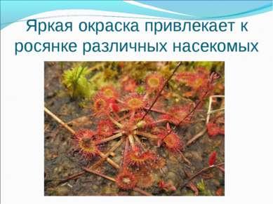 Яркая окраска привлекает к росянке различных насекомых