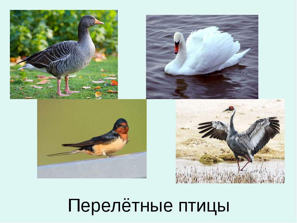 Перелётные птицы