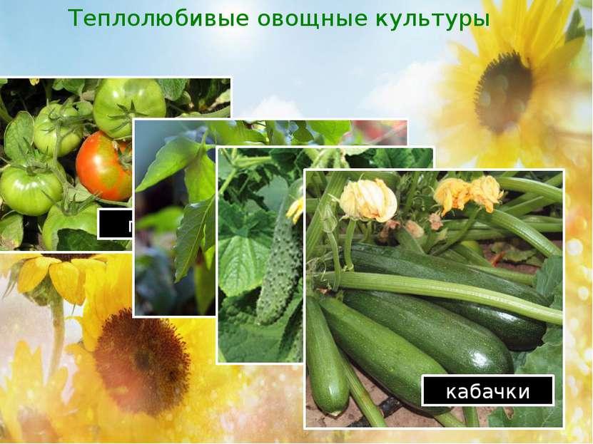 Теплолюбивые овощные культуры помидор перцы огурцы кабачки