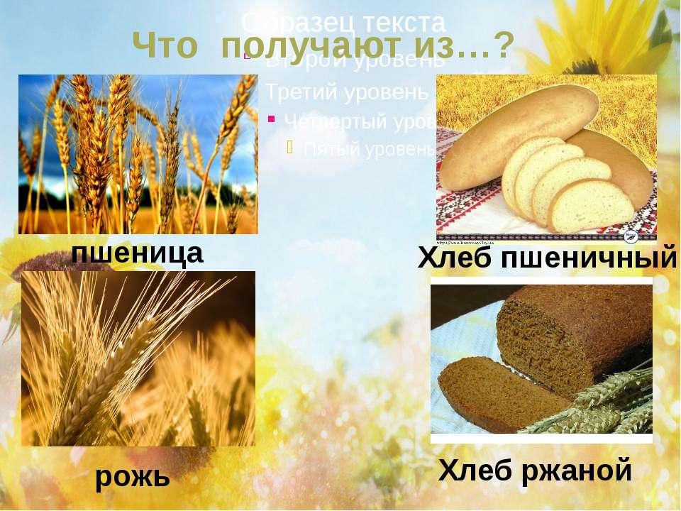 Что получают из…? пшеница Хлеб пшеничный рожь Хлеб ржаной