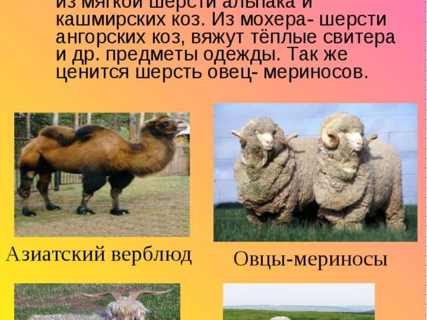 Для производства шерстяных волокон используют шерсть самых разных животных. В...