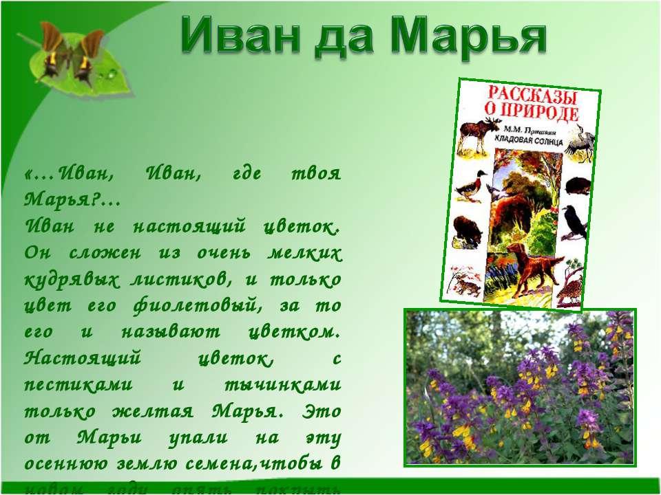«…Иван, Иван, где твоя Марья?… Иван не настоящий цветок. Он сложен из очень м...