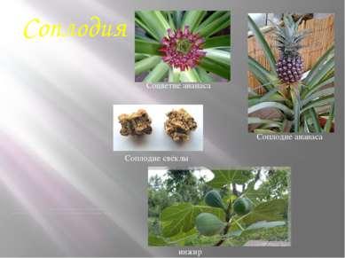 Соплодия Соплодие образуется не из отдельного цветка, а из целого соцветия в ...