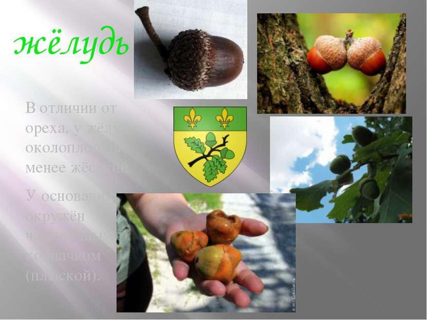 жёлудь В отличии от ореха, у жёлудя околоплодник менее жёсткий. У основания п...