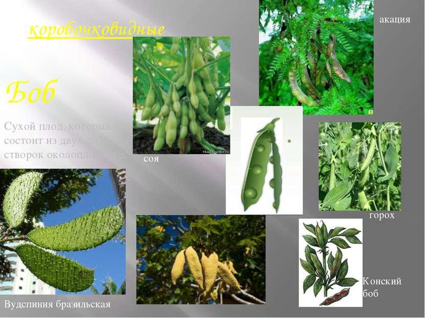 коробочковидные Боб Сухой плод, который состоит из двух длинных створок около...
