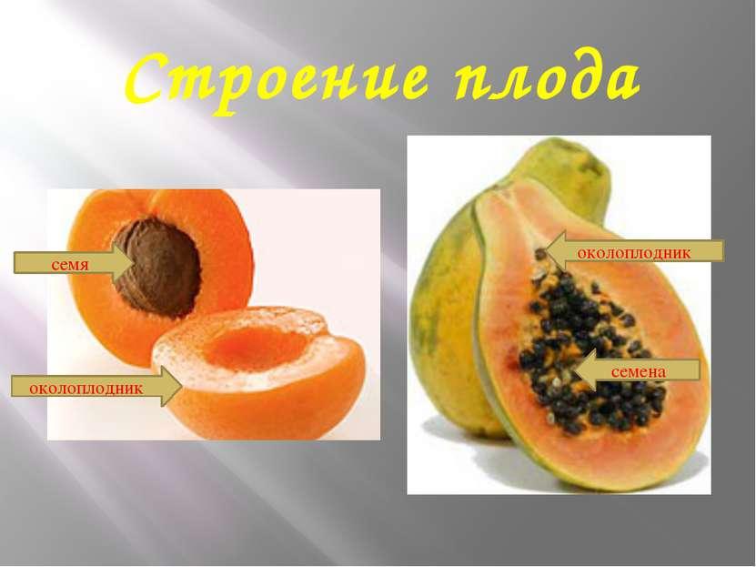 Строение плода околоплодник семя околоплодник семена