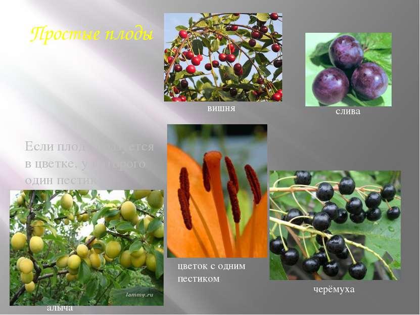 Простые плоды Если плод образуется в цветке, у которого один пестик и соответ...