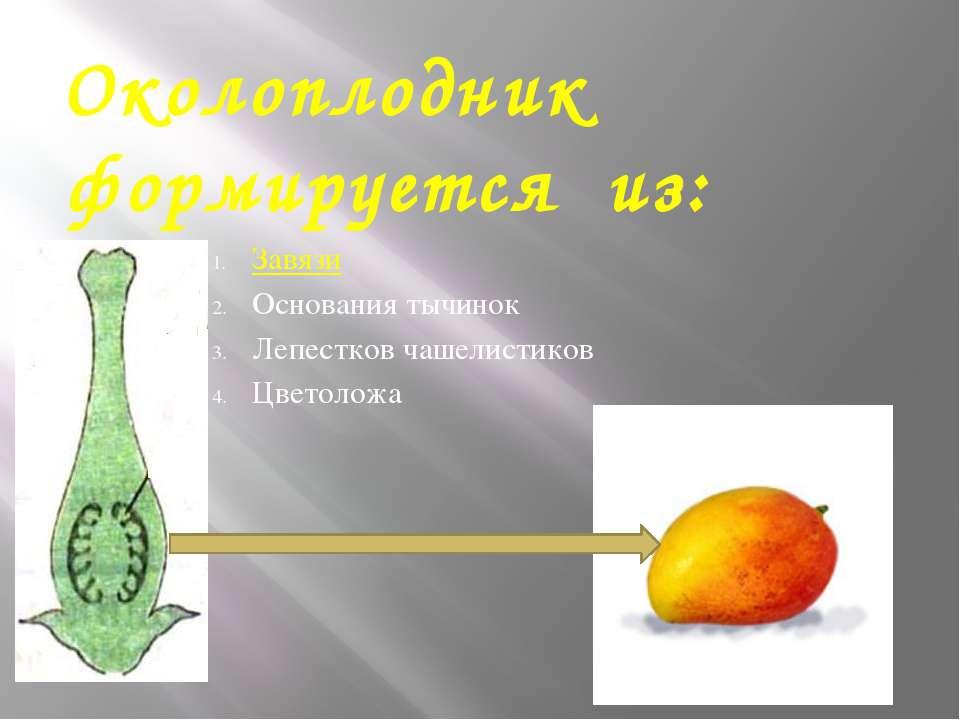 Околоплодник формируется из: Завязи Основания тычинок Лепестков чашелистиков ...