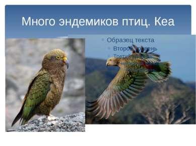 Много эндемиков птиц. Кеа