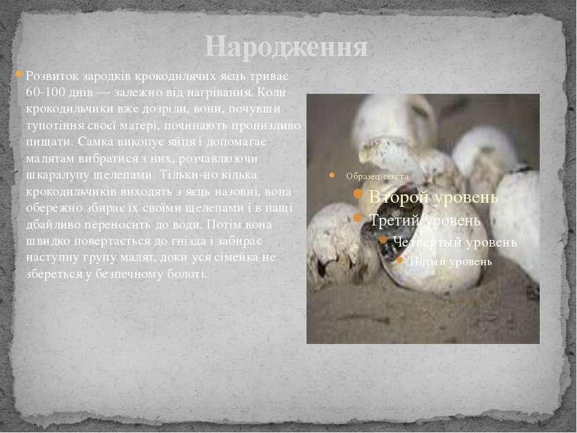 Народження Розвиток зародків крокодилячих яєць триває 60-100 днів— залежно в...