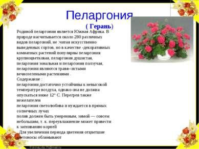 Пеларгония ( Герань)