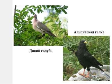 Дикий голубь Альпийская галка