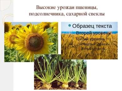 Высокие урожаи пшеницы, подсолнечника, сахарной свеклы