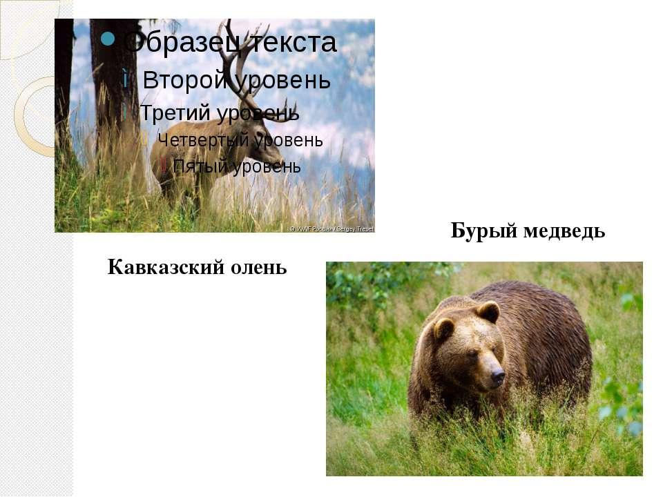 Кавказский олень Бурый медведь