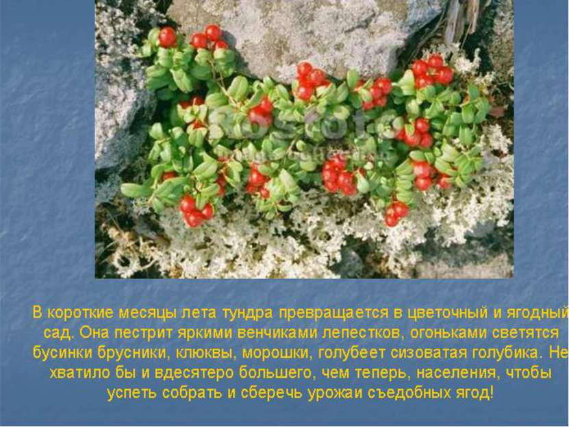 Основная растительность тундр – это мхи и лишайники.