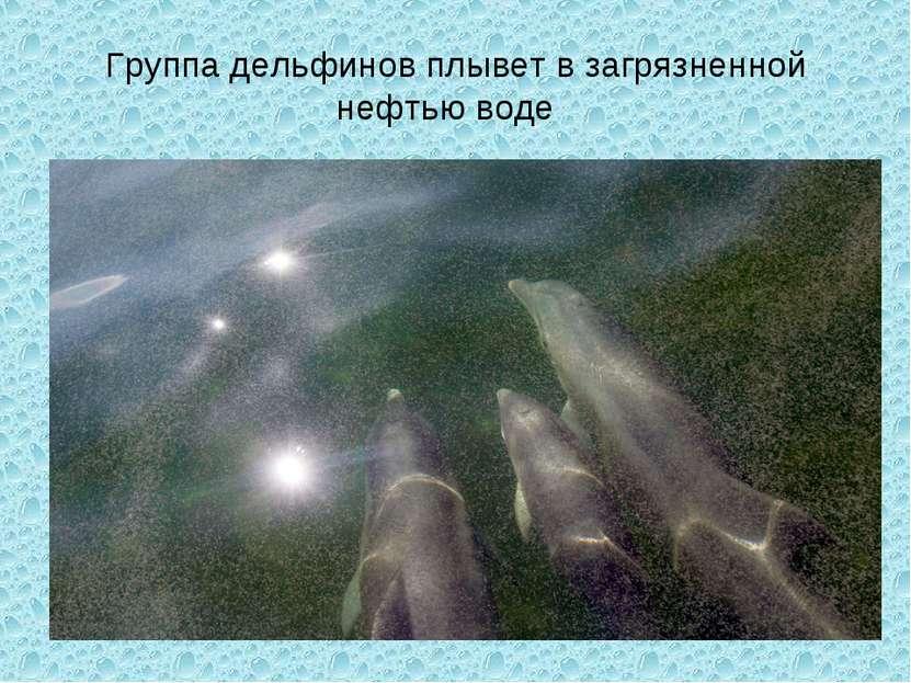 Группа дельфинов плывет в загрязненной нефтью воде